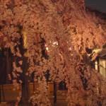 石橋屋の夜桜風景