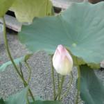 蓮の花を見つけました。